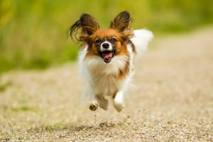 Miniature Papillon