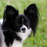 Papillon Temperament